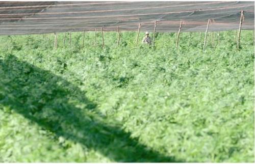 A Maior Plantação De Maconha Já Descoberta 03