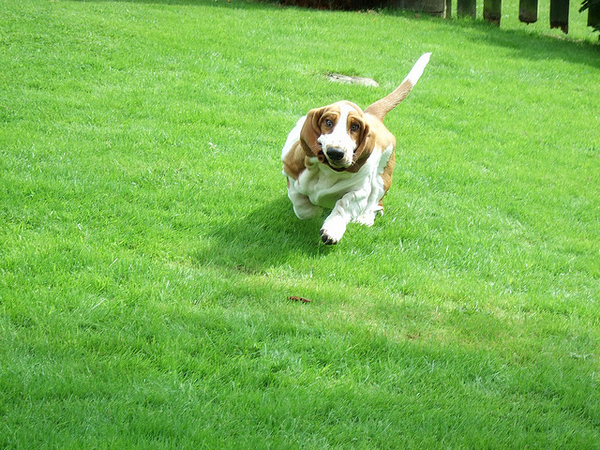 21 fotos de cães Basset Hounds correndo! imagens