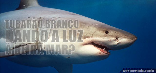 Tubarão branco dando a luz à beira mar